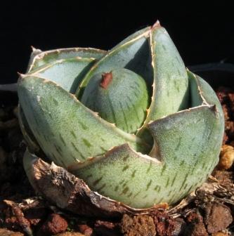 多肉植物普米拉的生长习性与养护要点是哪些
