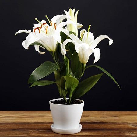百合花栽培与养护方法有哪些