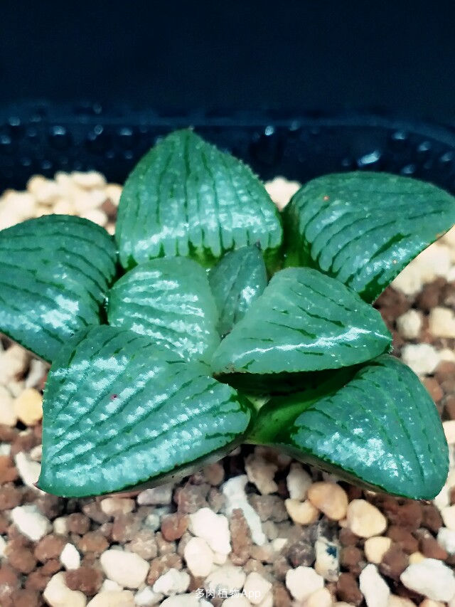 多肉植物亲指姬的生长习性与养护方法是什么
