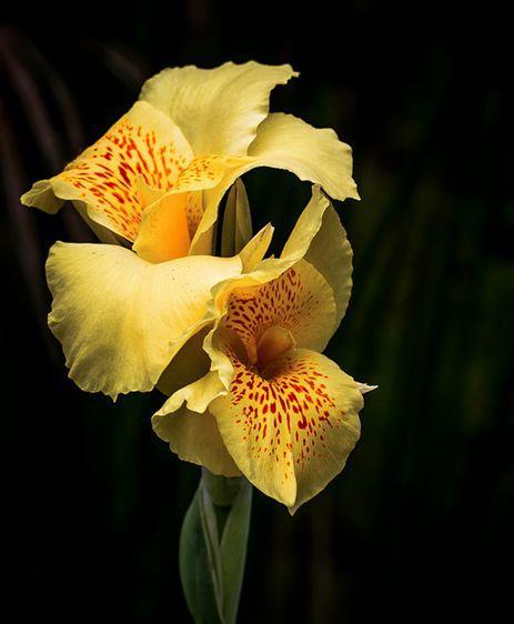 美人蕉什么时候开花?有什么特点?