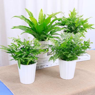 盆栽蕨类植物的养护要点是什么