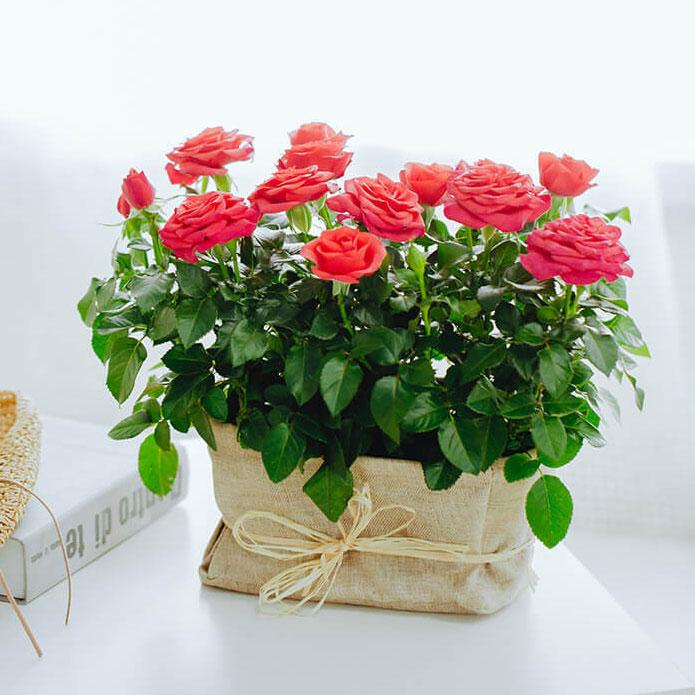 盆栽玫瑰花的养殖方法是哪些