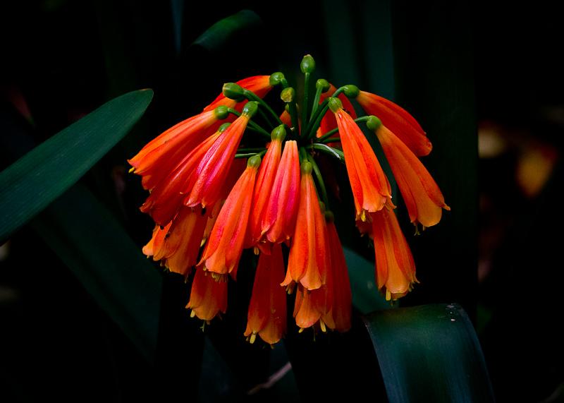 垂笑君子兰的繁殖及应用特征是什么