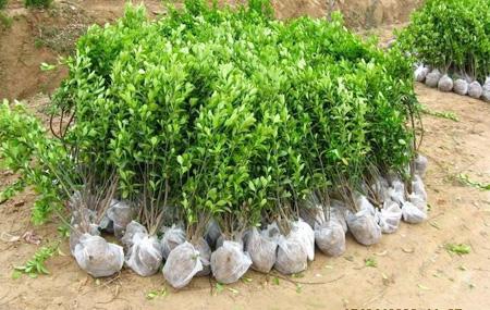大叶黄杨适合哪种栽培方式