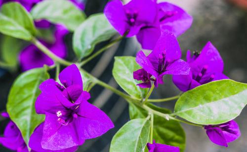 花卉叶子花的养护方法是什么