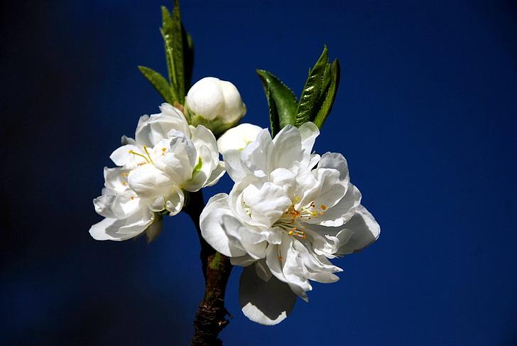 碧桃花的栽培管理如何进行