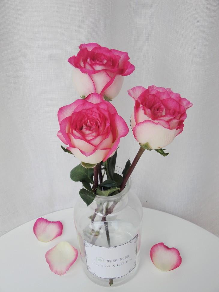 常用的鲜切花——双色粉玫瑰(花边色)