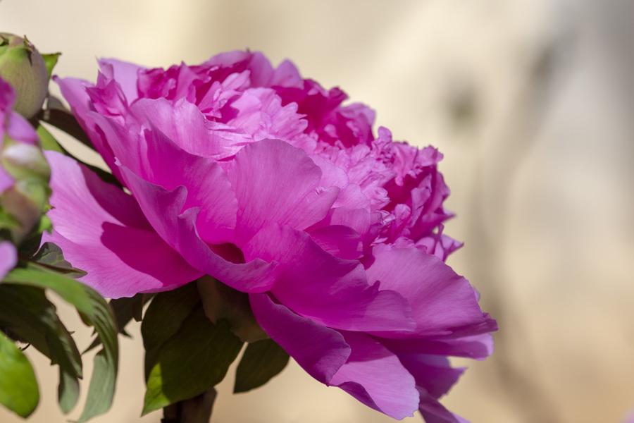 常用的鲜切花——牡丹