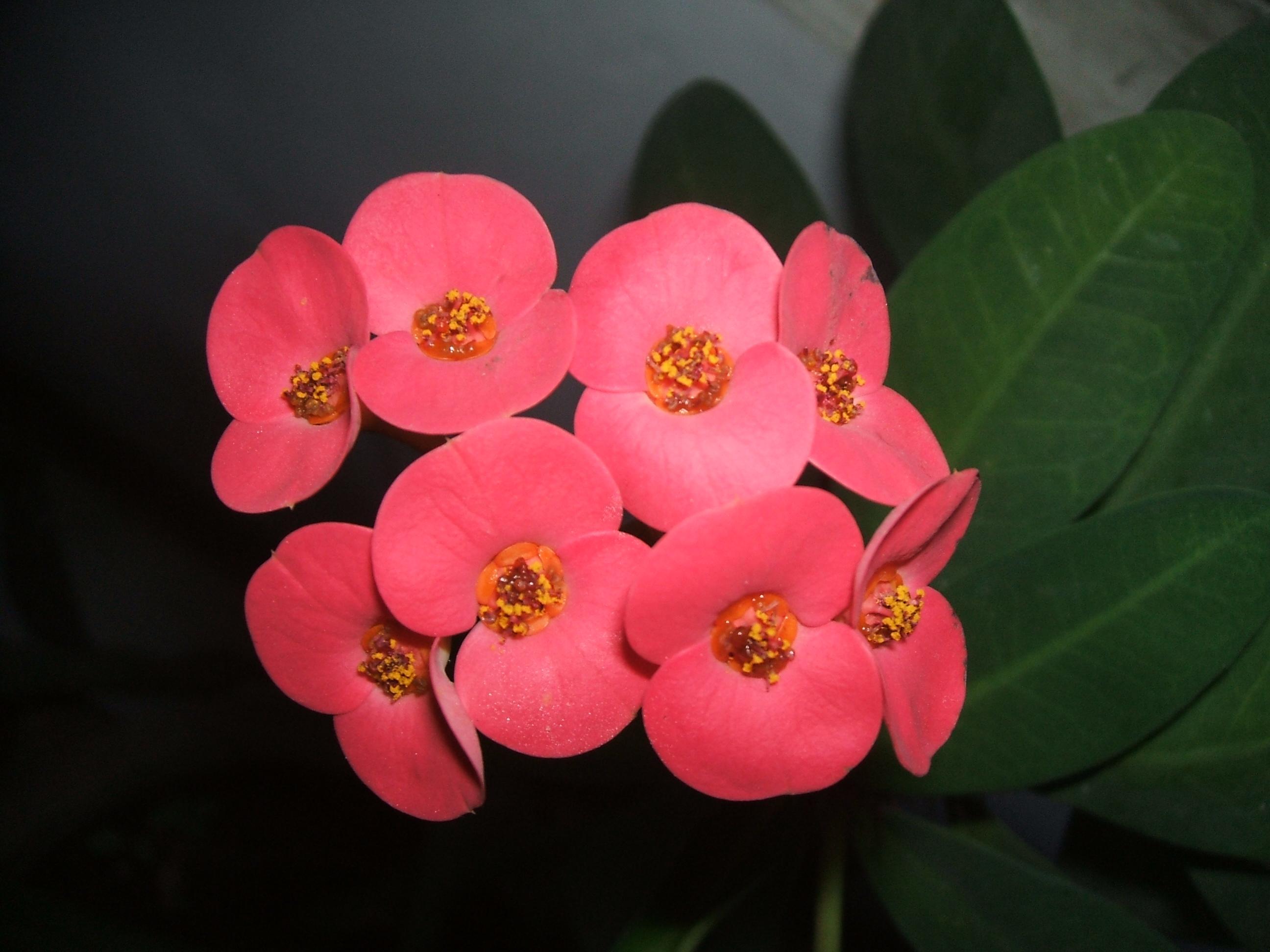 虎刺梅不开花的原因是什么?要怎么解决?