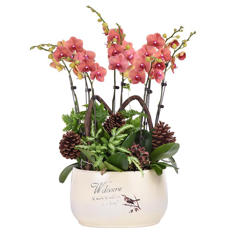 蝴蝶兰的栽培方法及蝴蝶兰的四季管理方法是什么