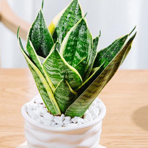 虎皮兰的栽培与养护注意事项是什么