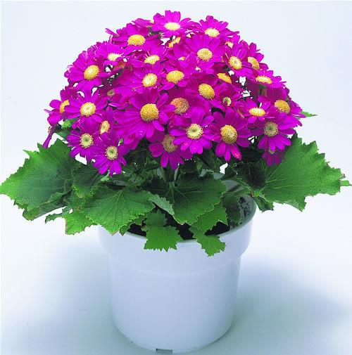 年宵花瓜叶菊的花语是什么?瓜叶菊应该怎么养