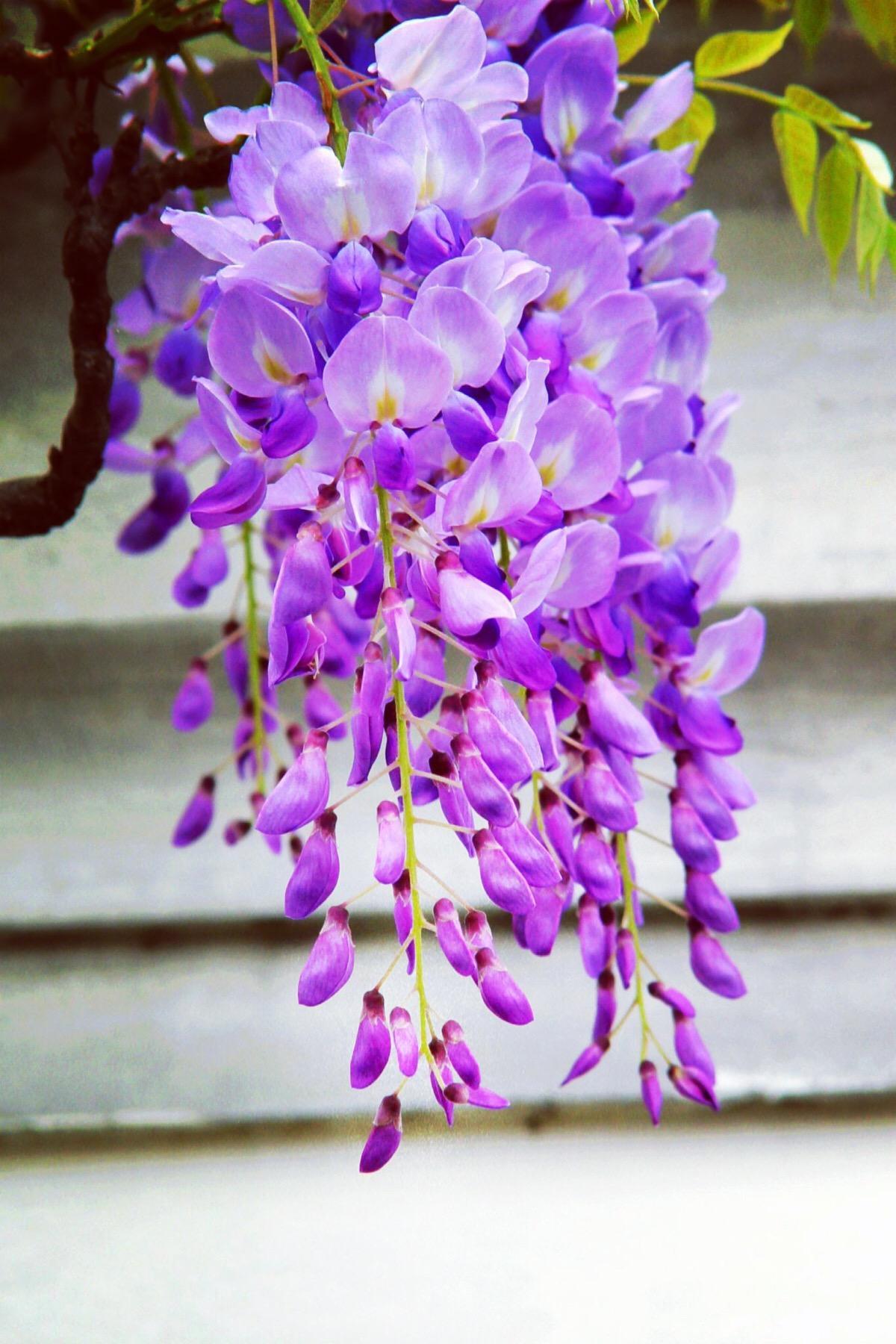 常用的鲜切花——紫藤花
