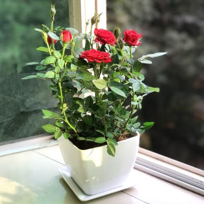 常用的鲜切花——月季