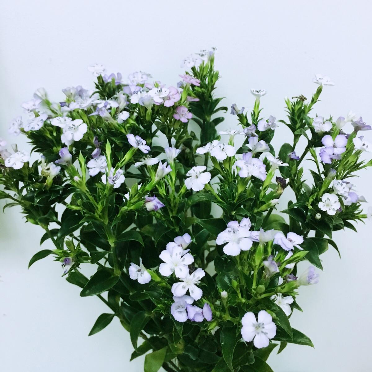 常用鲜切花——相思梅