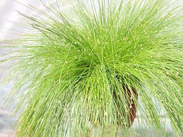 灯心草种植养护管理的要点是什么