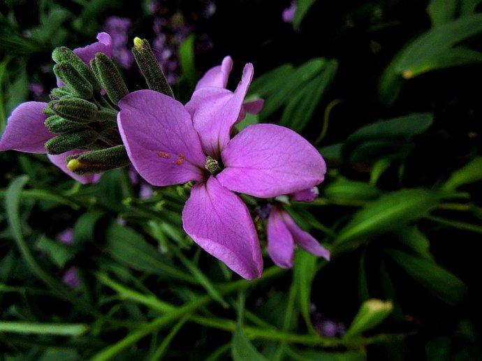 紫罗兰和金鱼草的区别是什么?