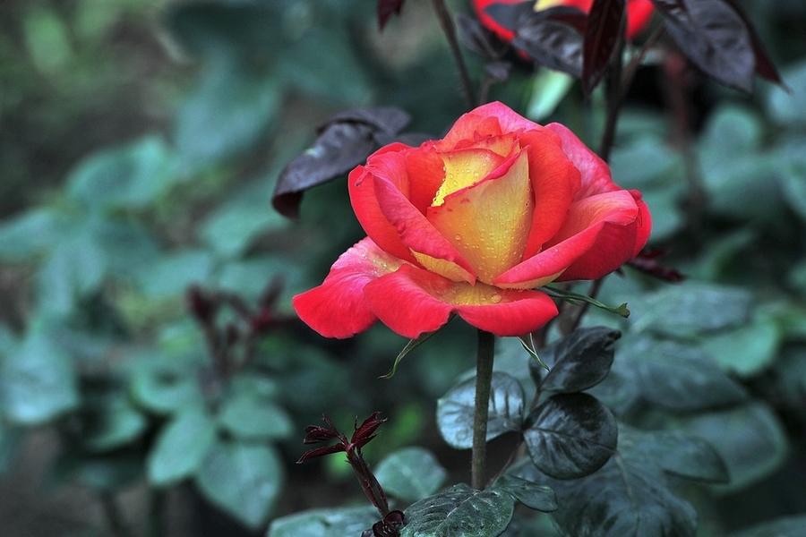 红玫瑰木栽培技术是什么