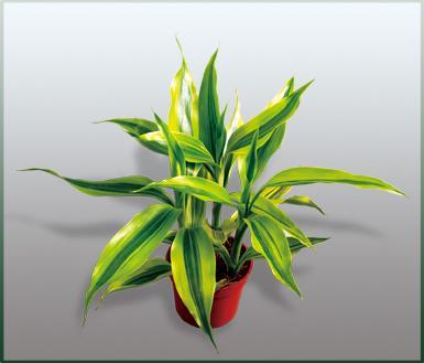 金边富贵竹的养殖方法和注意事项是什么