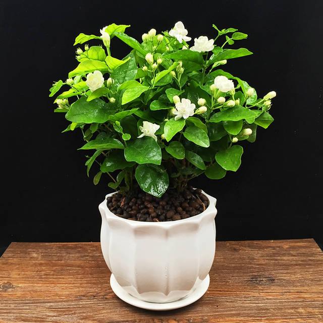 茉莉花养护记得这个4个原则,能开花常常爆盆!