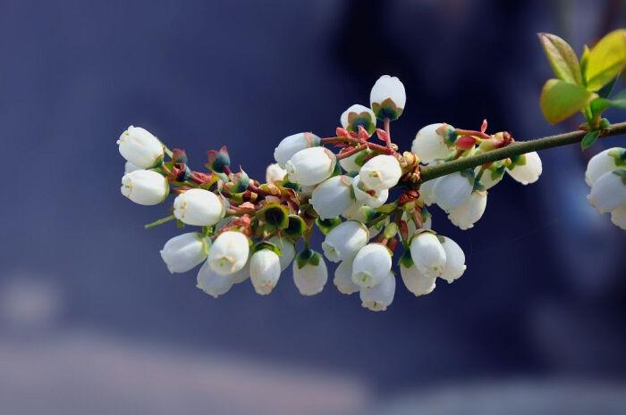 你见过蓝莓花吗?蓝莓花花语是什么
