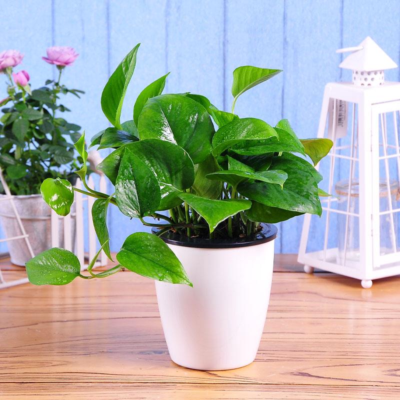 防电脑辐射的植物有哪些