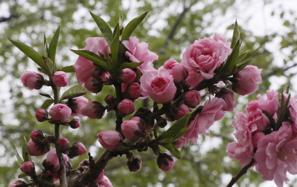 冬季碧桃树的修剪方法和注意事项是哪些