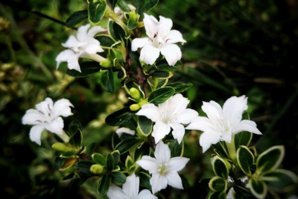 六月雪的特征是什么?一般什么季节开花?可以室内养殖吗