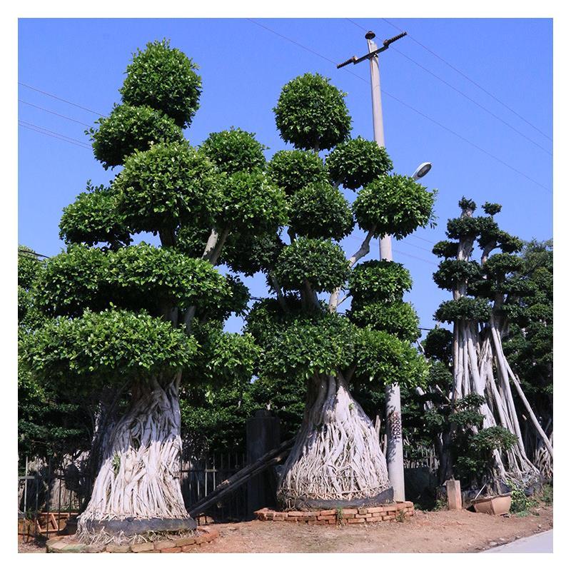 盆景小叶榕如何养护?小叶榕盆景日常养护会出现什么问题?