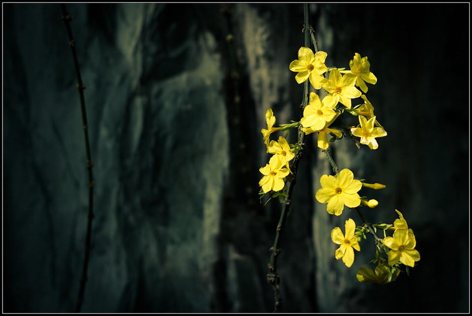 迎春花的花语是什么?迎春花的传说是什么?