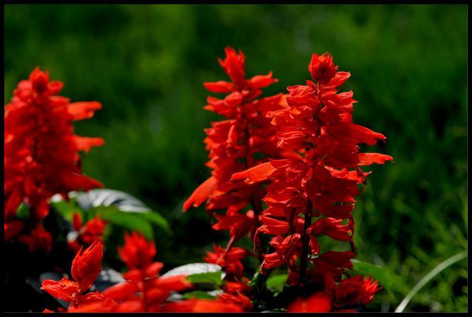 一串红种植和注意事项是什么