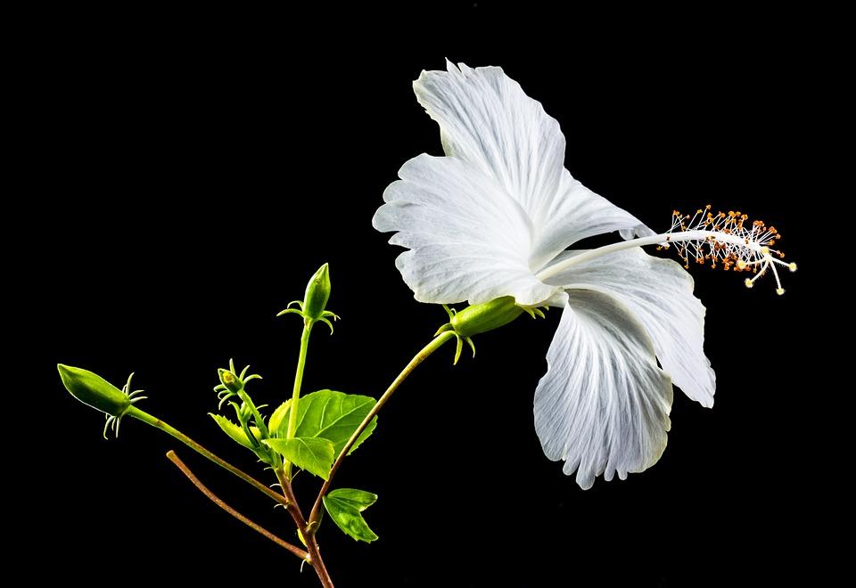 芙蓉的栽培方法是什么