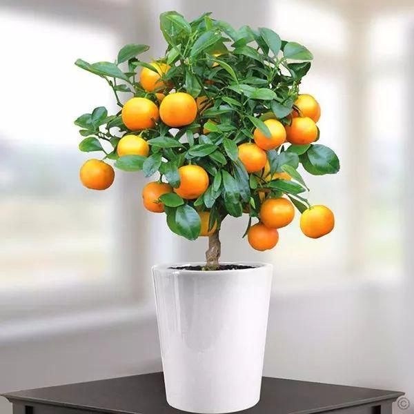 观果植物金橘它该怎么养?