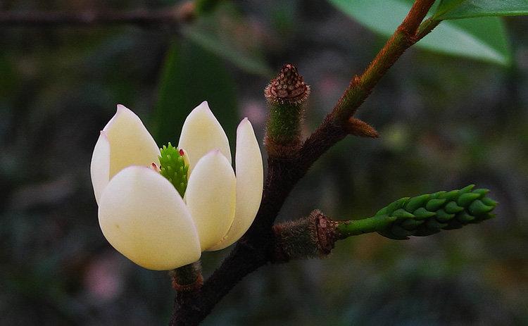 含笑花盆景养护指南
