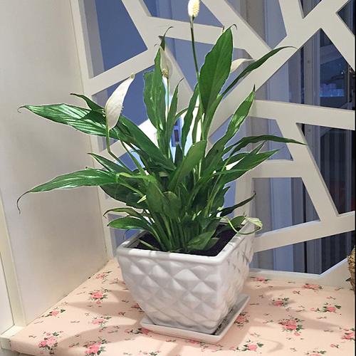 为什么盆栽植物不开花?要怎么催花?