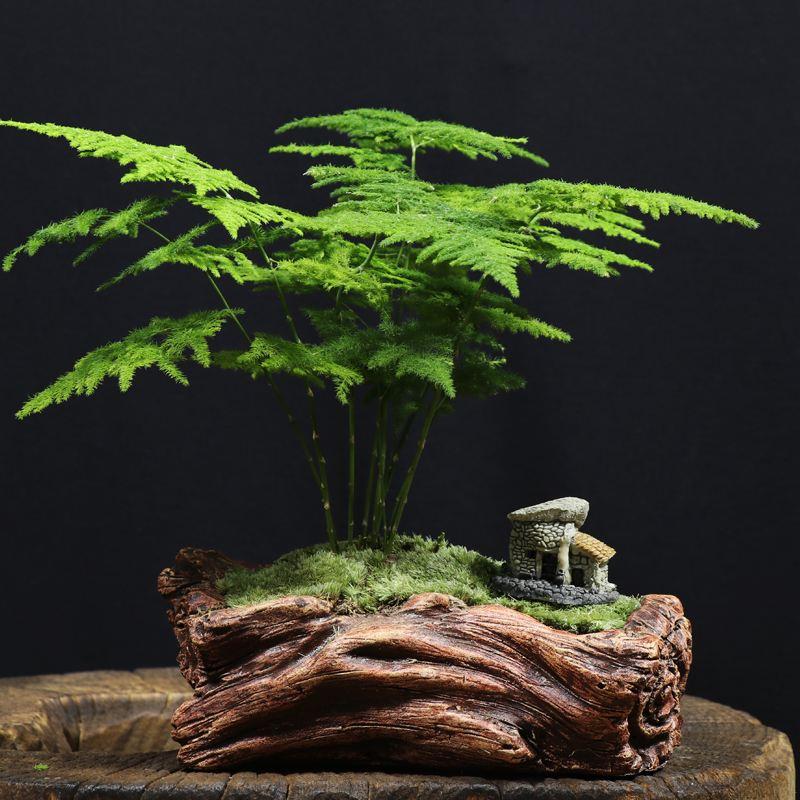 文竹的养殖方法和注意事项|文竹怎么修剪