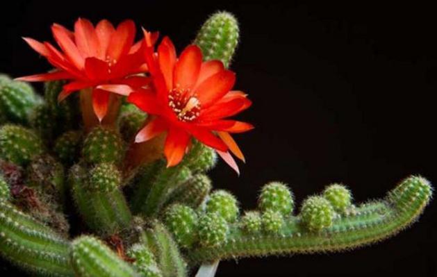 仙人指花如何养殖?开什么颜色的花?