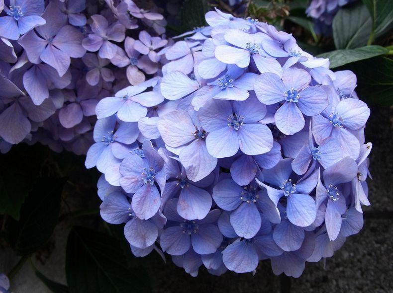 绣球花养护需重点注意的是什么?