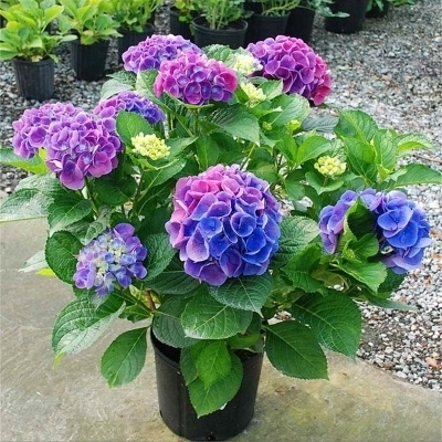 绣球花花语 绣球花的养殖方法和观赏价值是什么