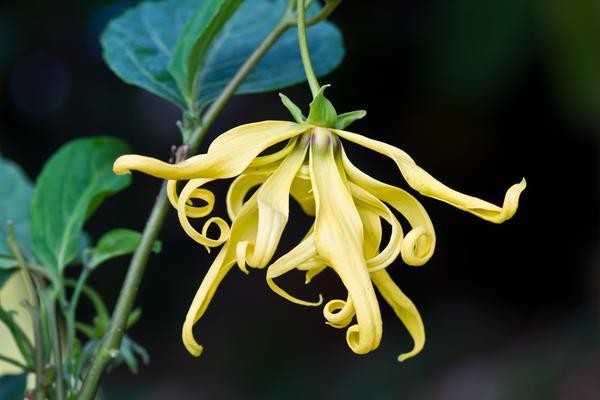 依兰花的花语是什么?有什么作用?