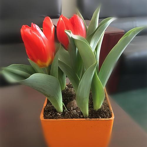 郁金香什么时候开?郁金香种植方法是什么?