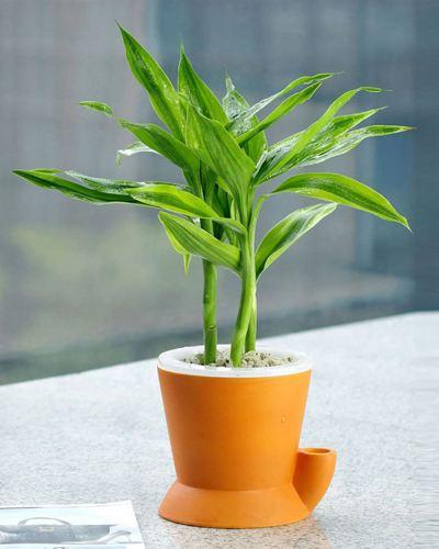 造成富贵竹叶子发黄的原因有哪些