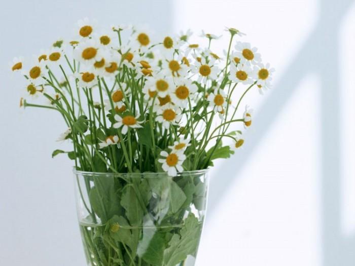 家庭养殖雏菊的繁殖方法是什么