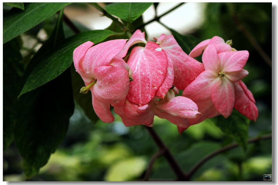 粉叶金花的繁殖与栽培技术是什么