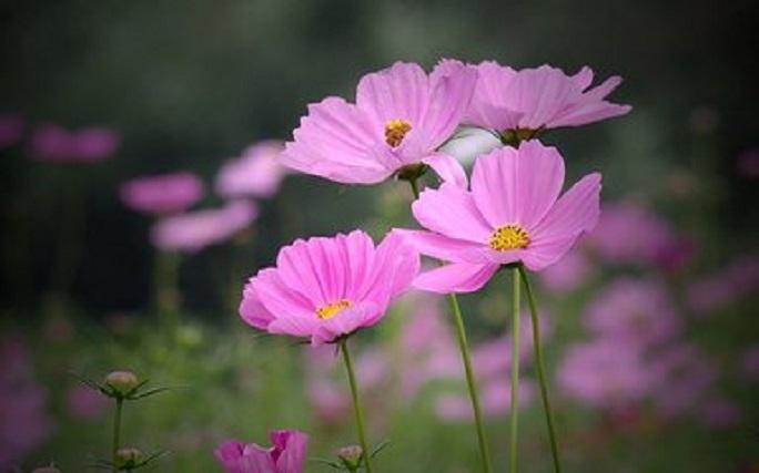 波斯菊的繁殖方式有哪些