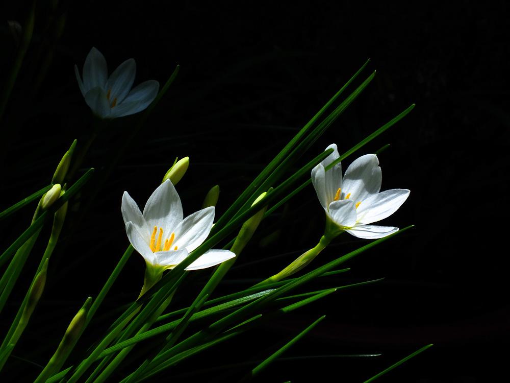 葱兰的养殖方法是什么