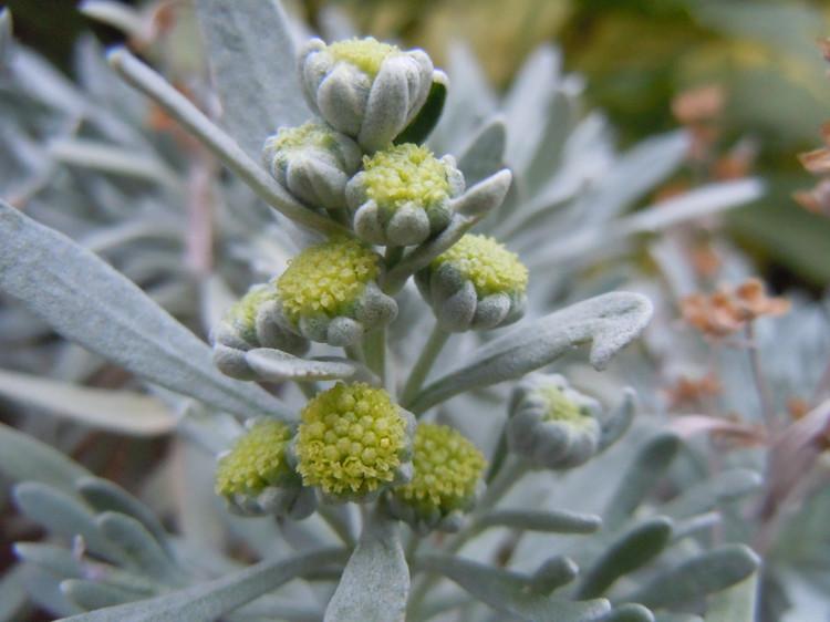 芙蓉菊的栽培养护方法是什么