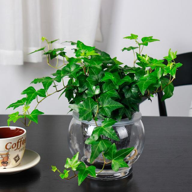 公司办公室合适放置哪些绿色植物——常春藤