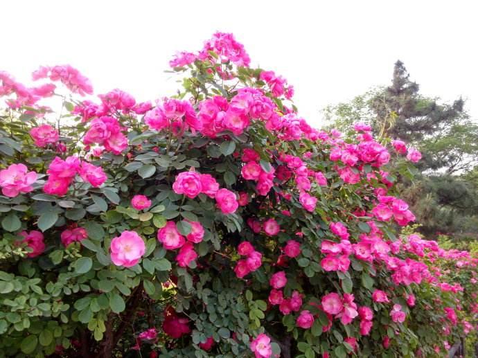 野蔷薇和蔷薇有何区别?