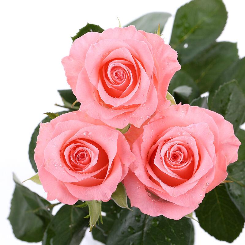 三行情书-33支精品粉玫瑰
